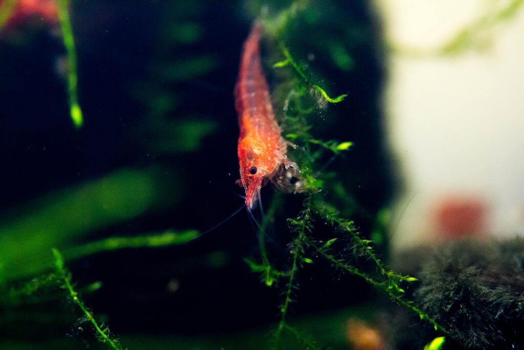Cherry Shrimp photo
