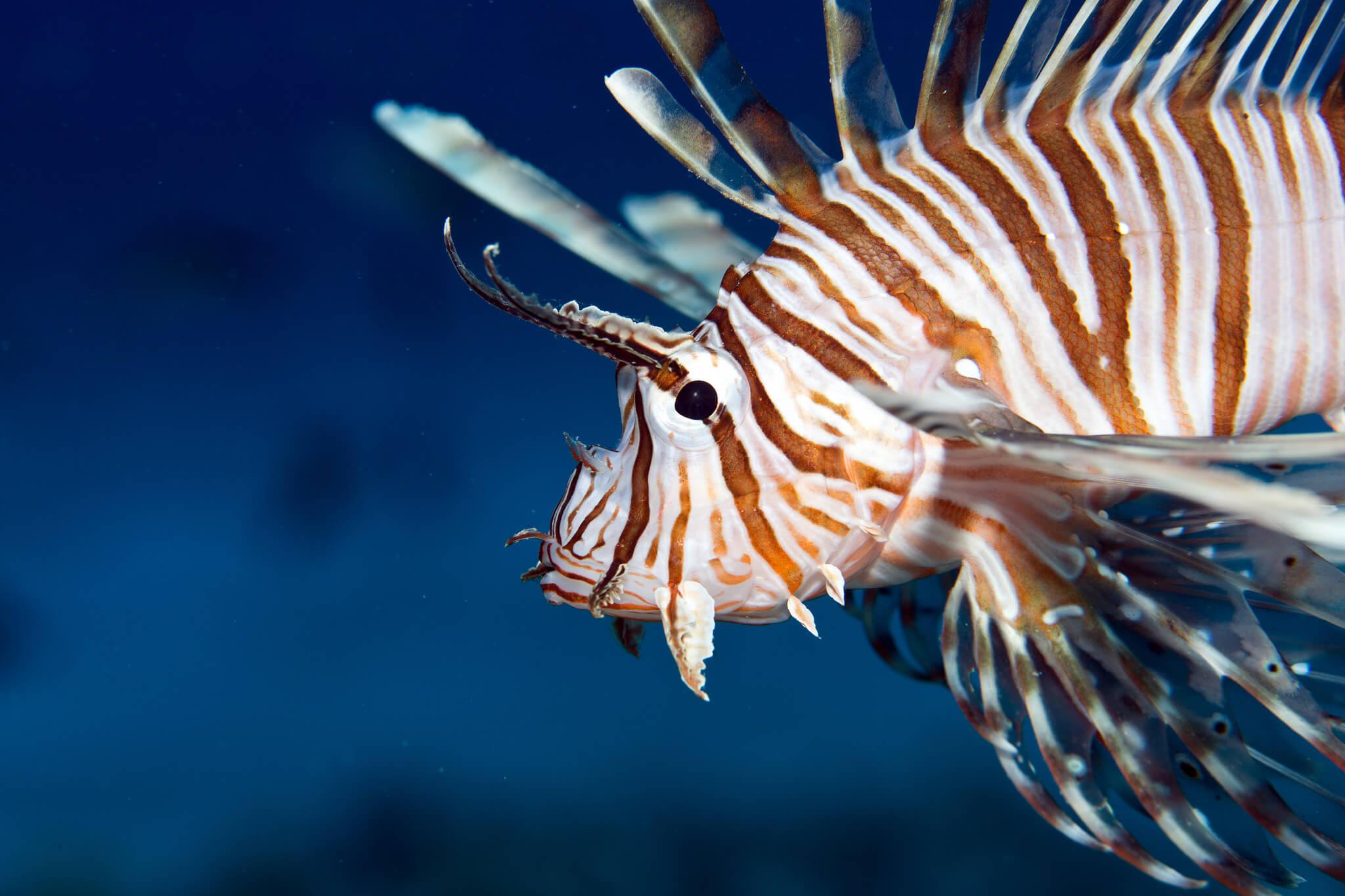 lionfish photo