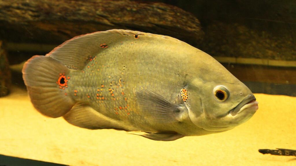 oscar fish photo