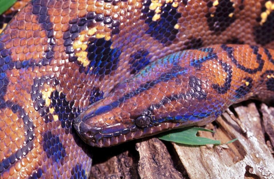 rainbow boa photo