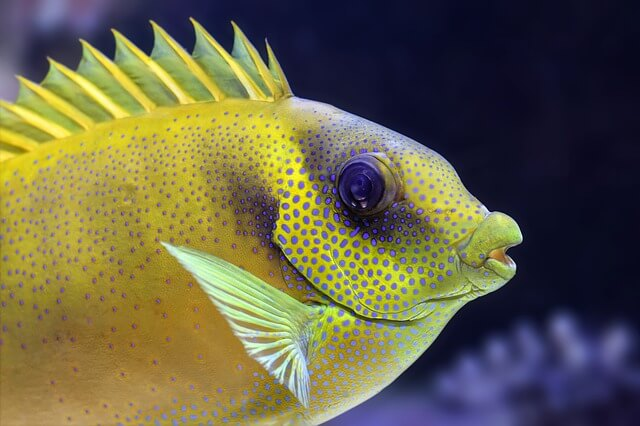 Flowerhorn Cichlids Care Guide   Keeping Exotic Pets