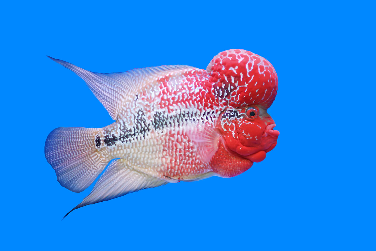 Flowerhorn Cichlids Care Guide | Keeping Exotic Pets