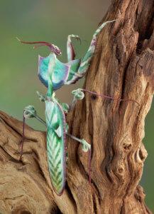 Idolomantis diabolica / Foglio per la cura della mantide floreale del diavolo gigante 2