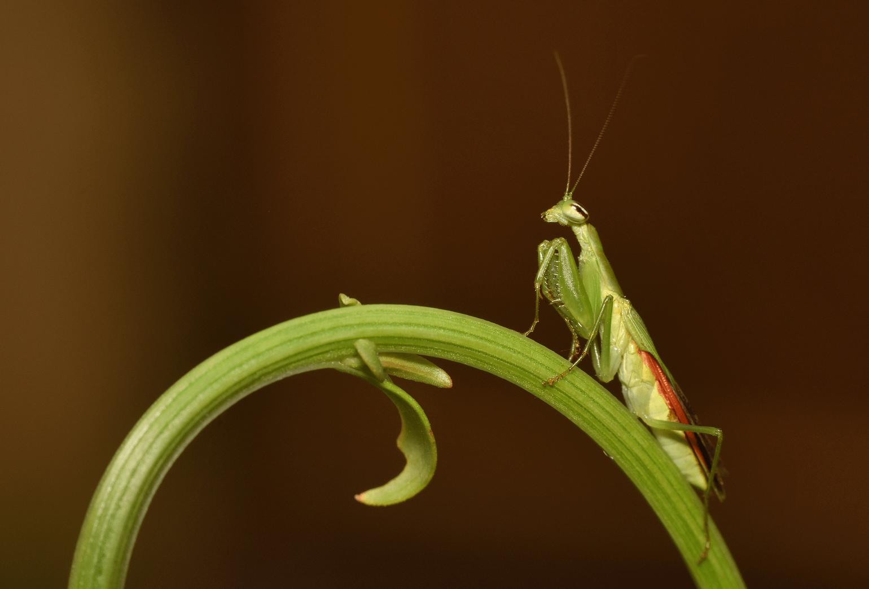 Praying Mantis Keeping Exotic Pets