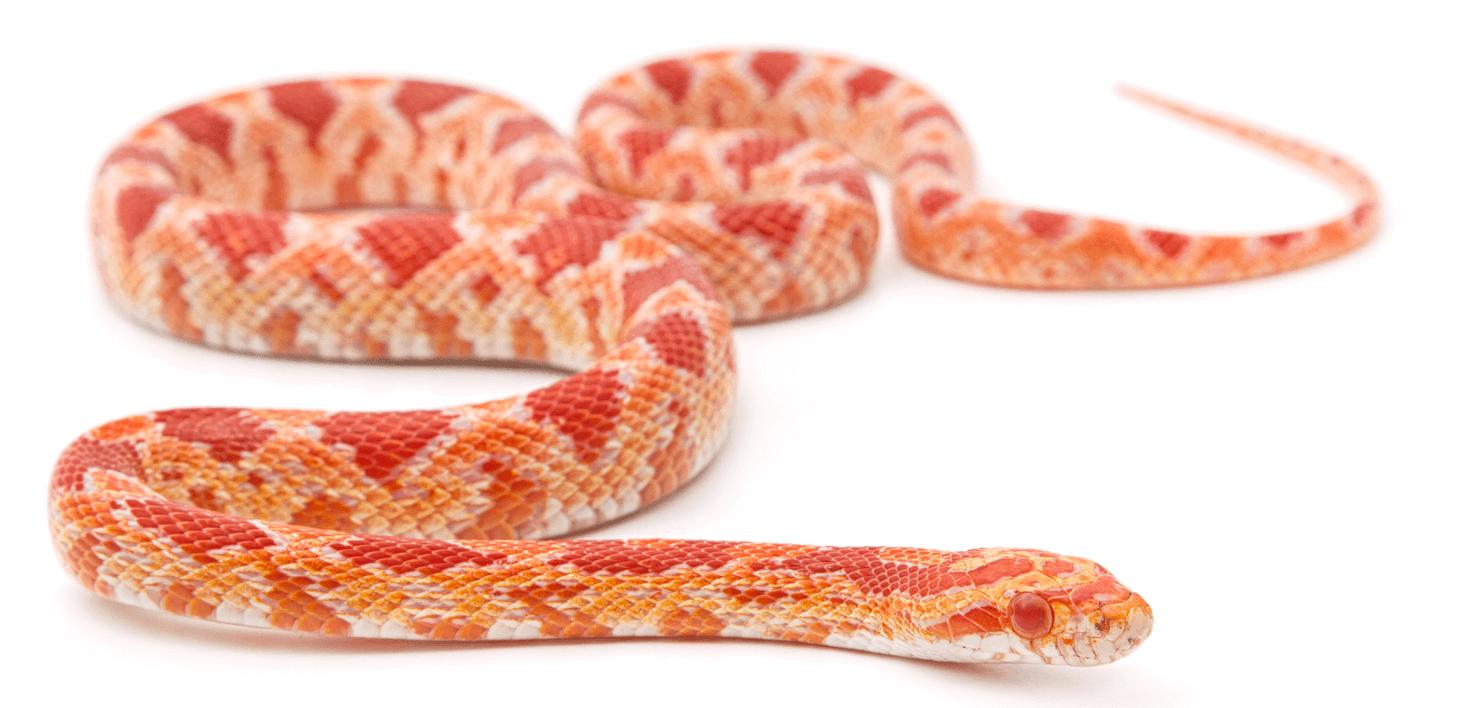 Do corn snakes bite?