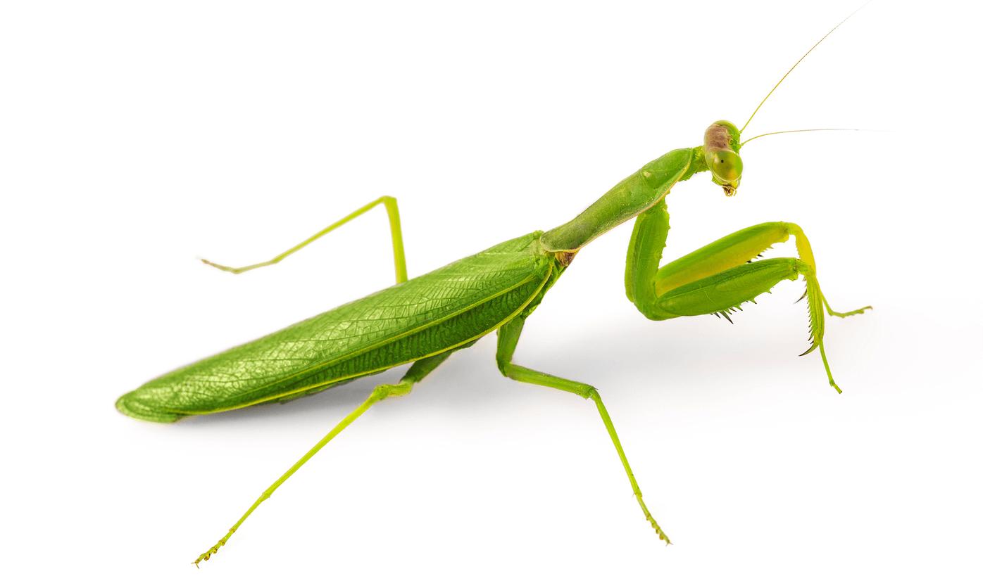Do praying mantis make good pets?
