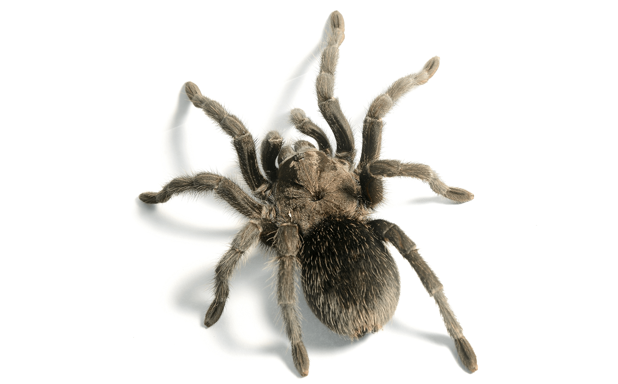 Can tarantulas recognise their owners?
