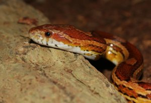 How long do corn snakes live?