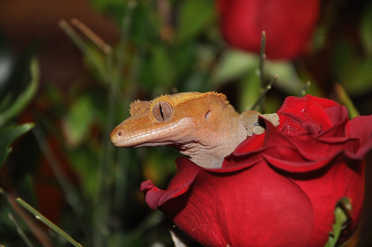 crested gecko photo