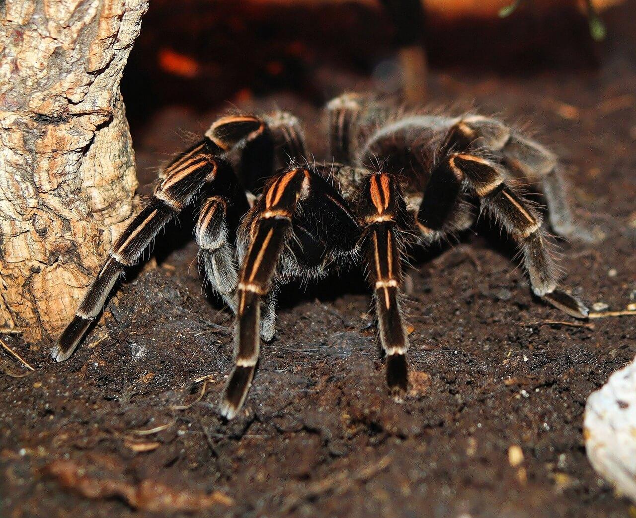 tarantulas photo