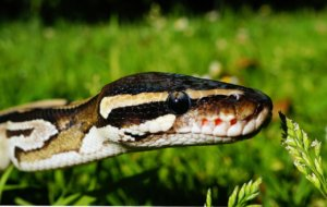 What is the temperament of ball pythons?