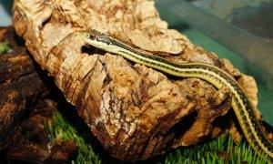 How big do garter snakes grow?