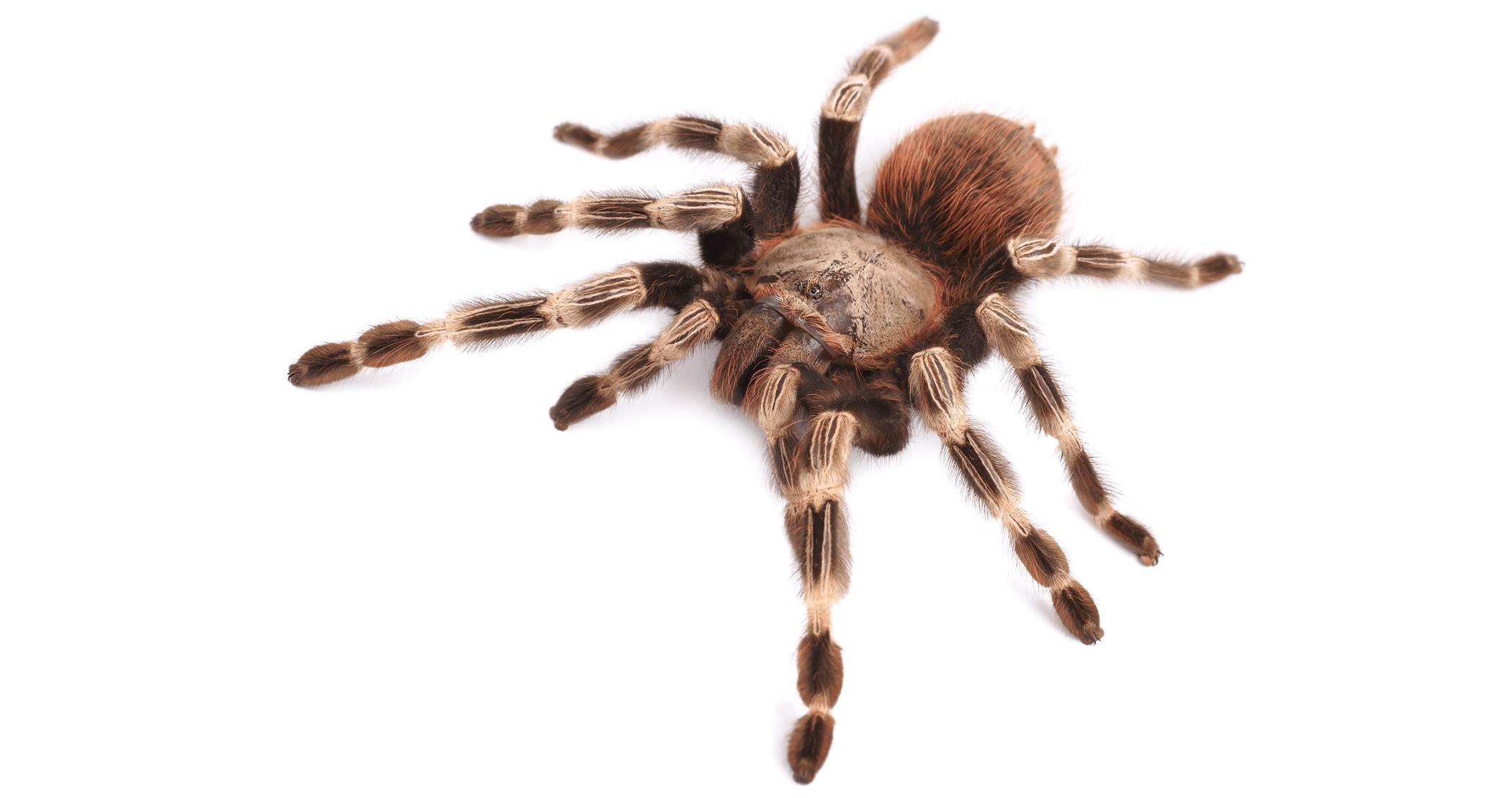 Are tarantulas good pets?