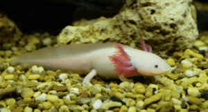 What color morphs of axolotls exist?