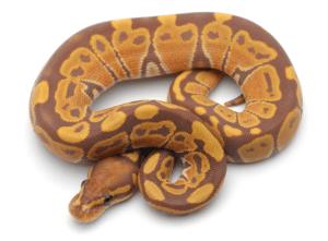 The banana snake - a banana ball python with beautiful purple/pink background and banana-yellow saddles.