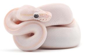 Stunning Blue Eyed Lucy ball python morph.