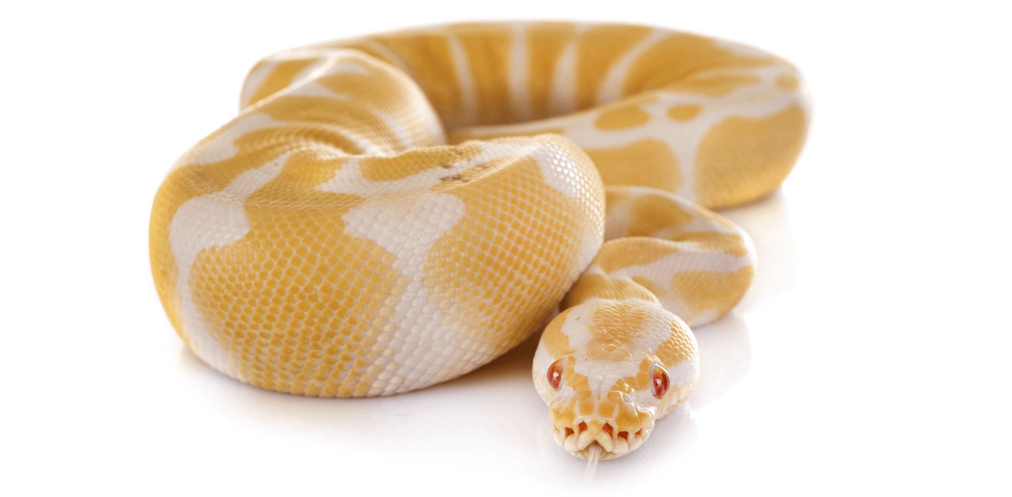Ai serpenti piace essere animali domestici?