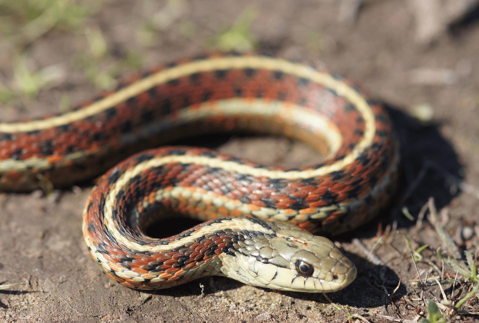 Cosa mangiano i serpenti giarrettiera?