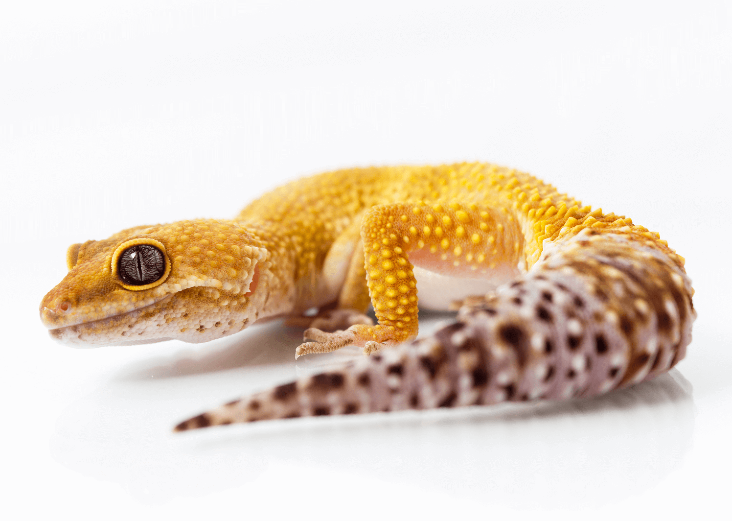 What is the best temperature for leopard geckos?