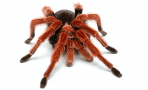 Do male tarantulas die early?