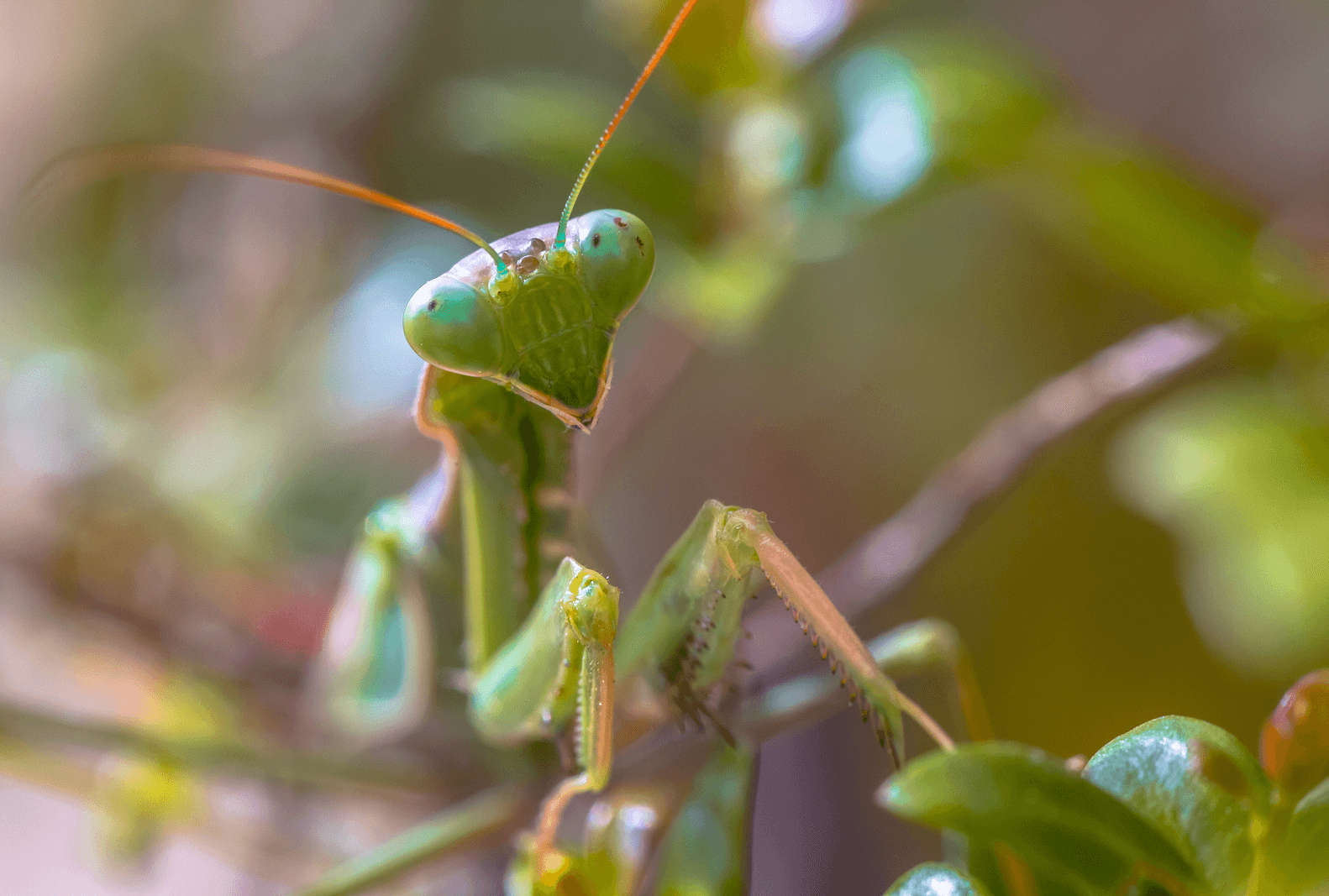 Why do female praying mantids often eat the males?
