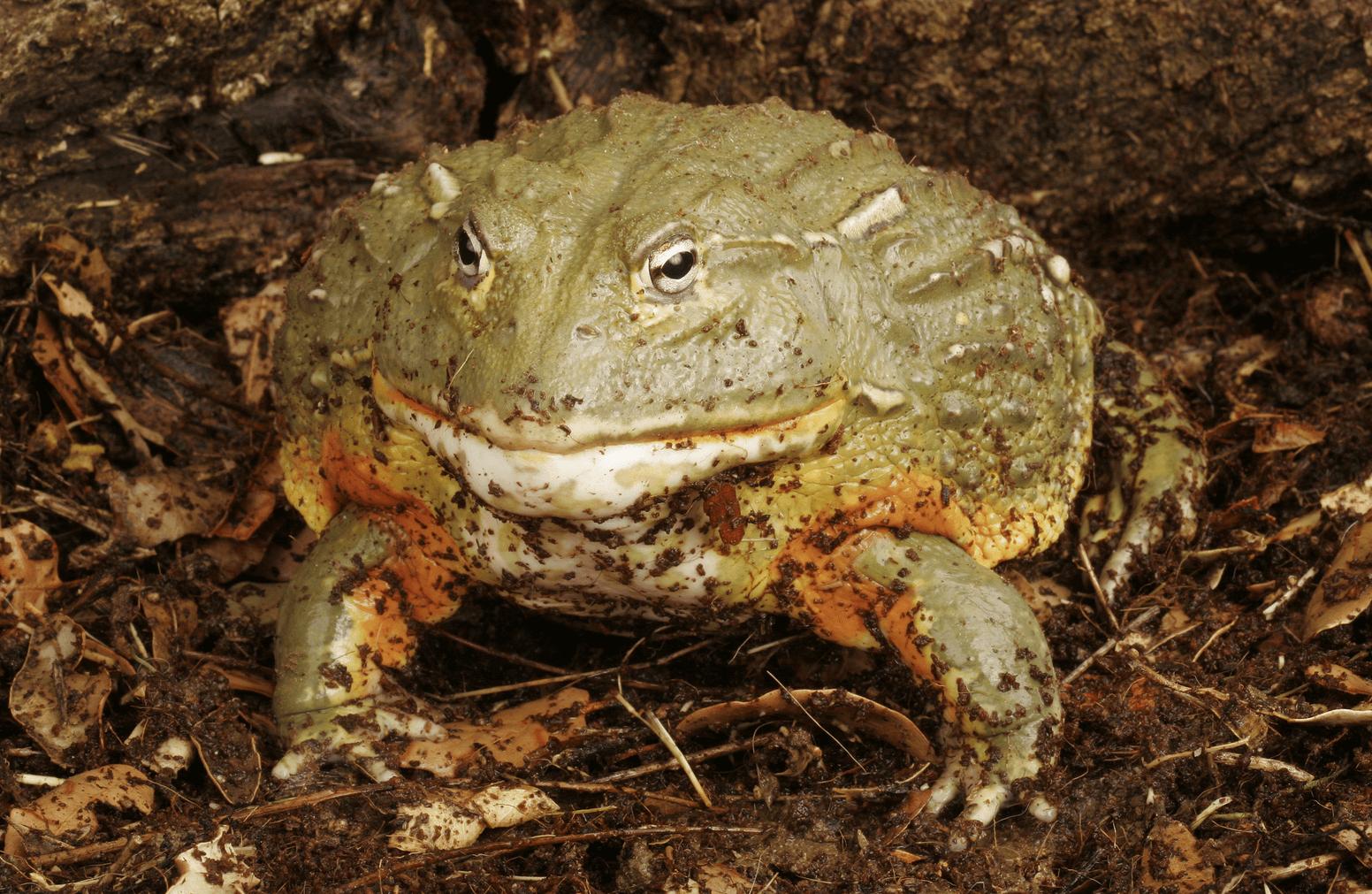 Pixie frog care sheet and captive husbandry tips.
