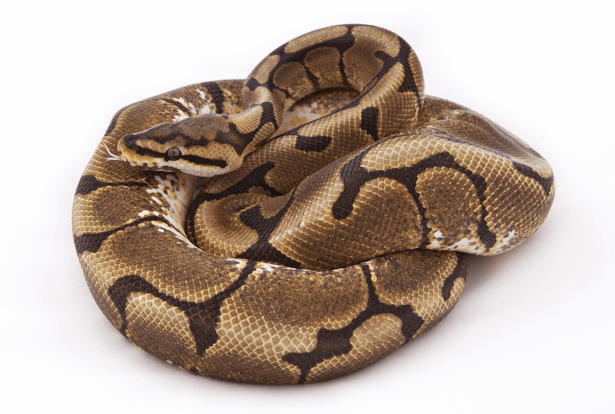 Spider ball pythons can suffer from neurological problems.