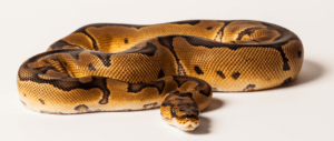 Spider ball python care and breeding guide.