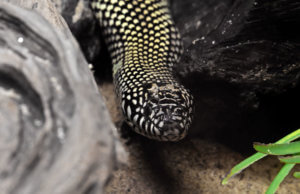 KIngsnake care sheet