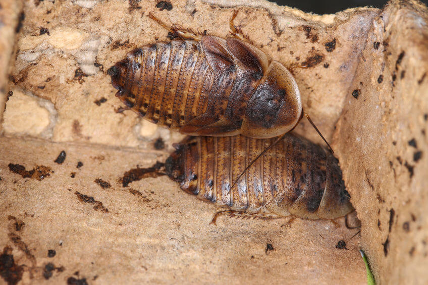 WHen do dubia roaches breed?