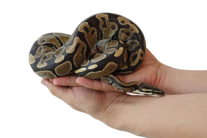 Ball python handling