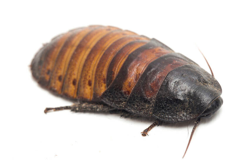 Hissing cockroach food
