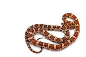 Are corn snakes poisonous?