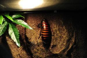 Hissing cockroach setups