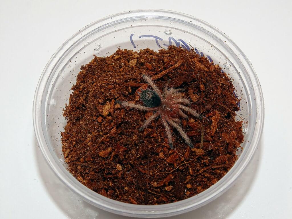 T ockerti spiderling