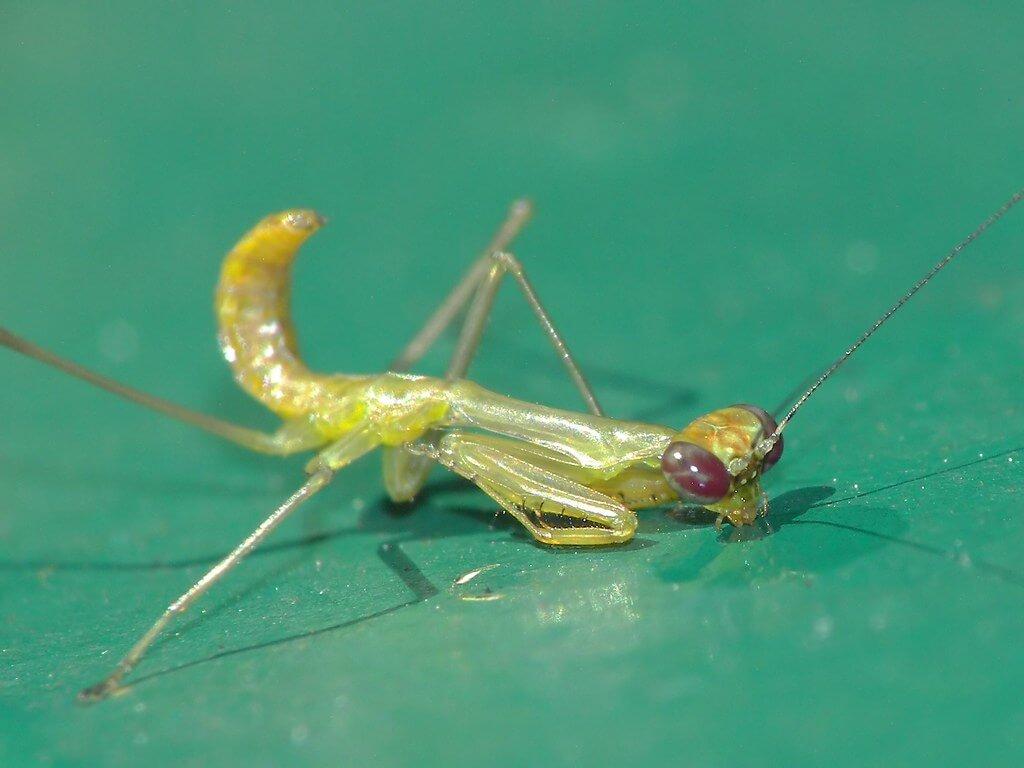 mantis drinking photo