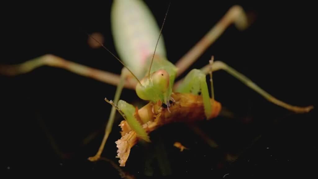 mantis mealworm photo