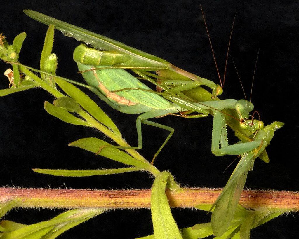 mantis mating photo