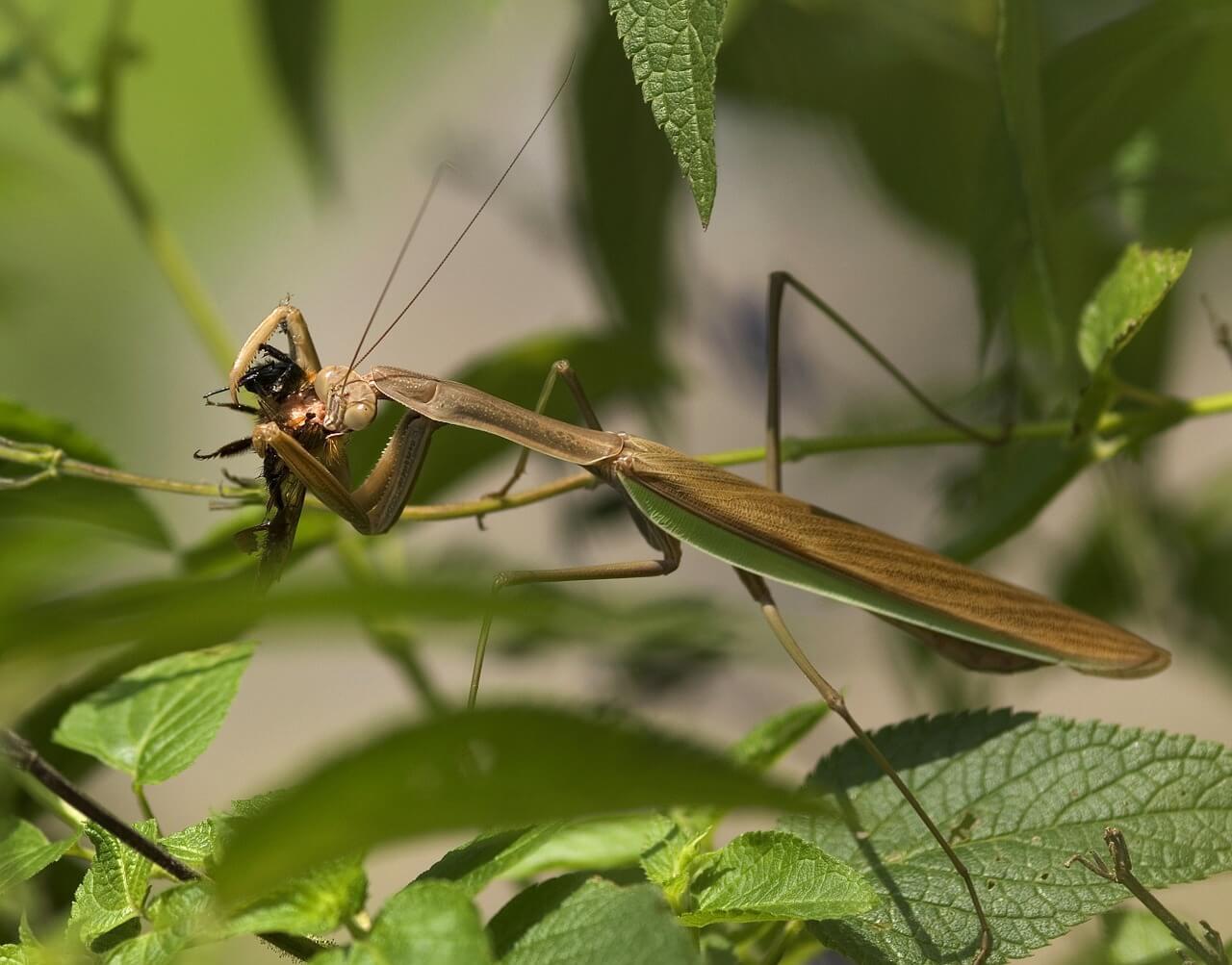 mantis eating photo