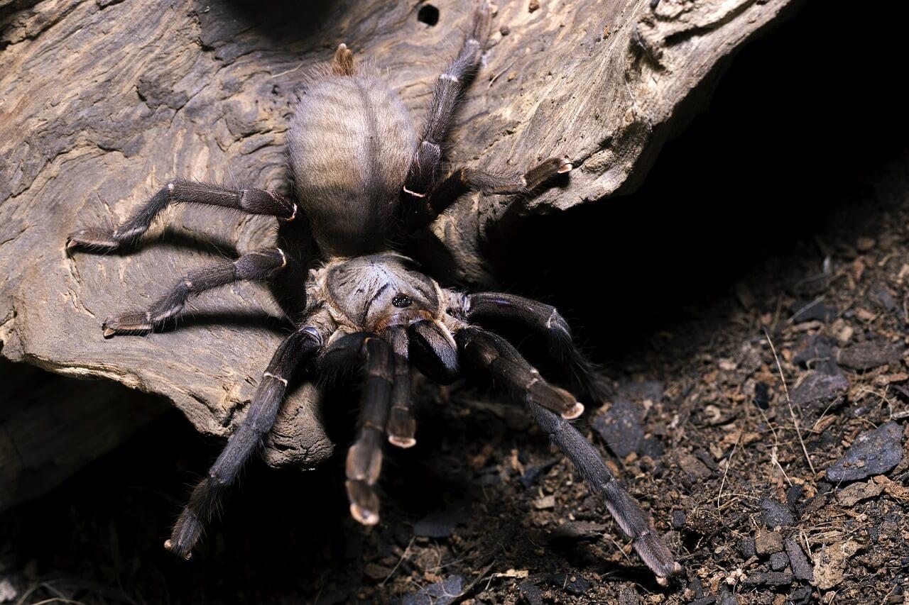 tarantula big photo